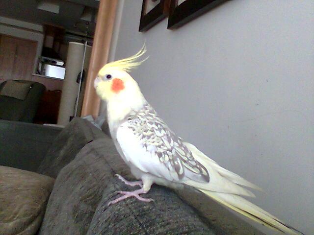 宠物年龄 1 宠物性别 公 宠物种类 鸟类 宠物品种  玄凤--鸡尾鹦鹉