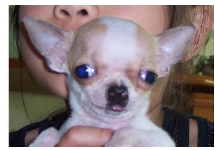 宠物种类 狗狗 宠物品种  吉娃娃  颜色特徵  白底