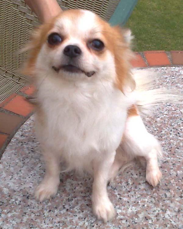 狗狗 宠物品种  吉娃娃  颜色特徵  长毛白底淡褐
