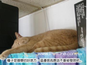 imu ·是只咖菲猫颜色的猫.   猜猜这只白色的螺丝起子是什麽猫 ??